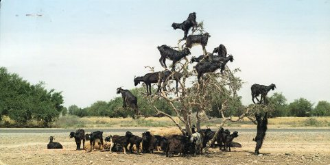 germany-goats-in-a-tree